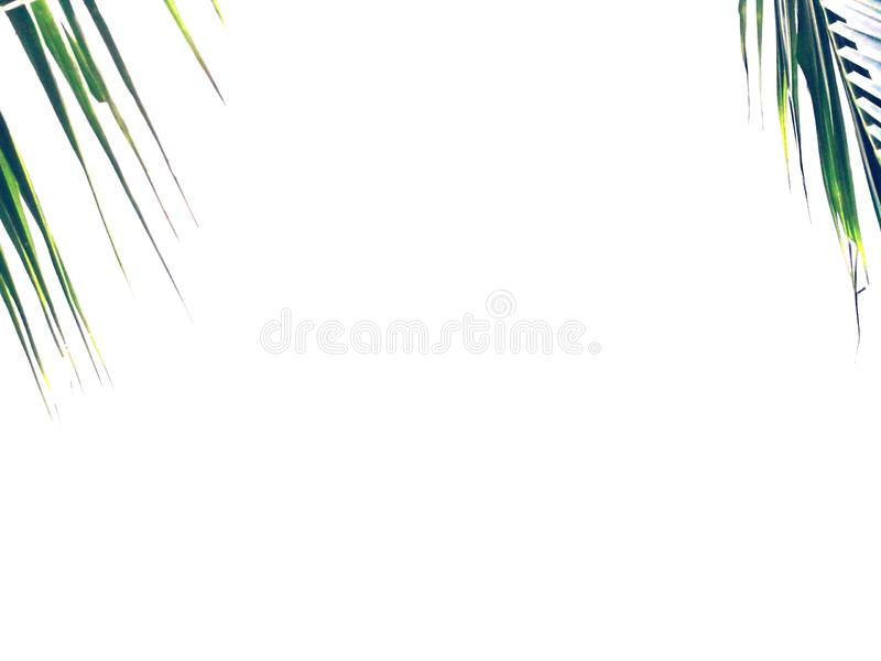 Coconut palm fronds isolated on white background stock images