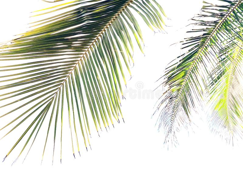 Coconut palm fronds isolated on white background stock photos