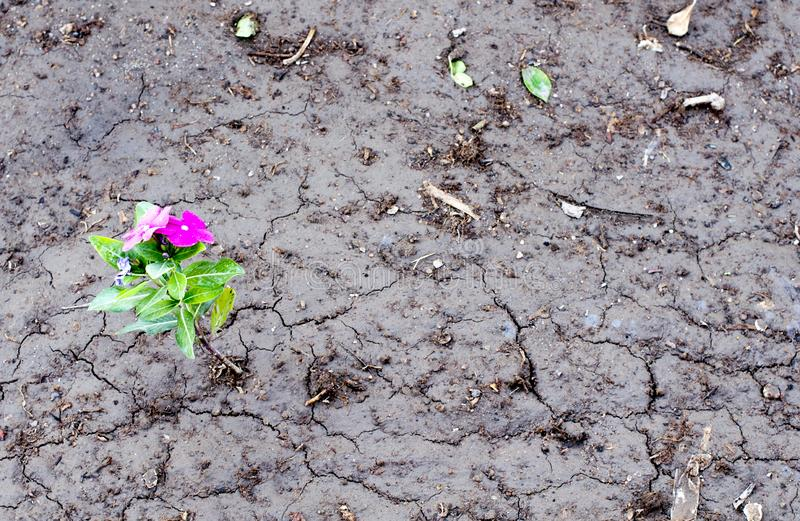 Horizontal side view of a lonely yellow flower growing on dried cracked soil royalty free stock photo