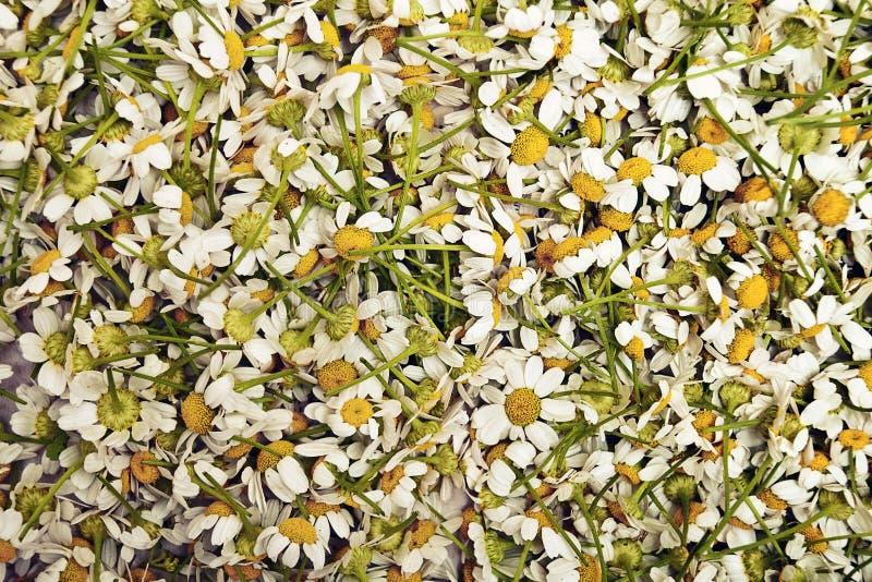 Pattern daisies royalty free stock photos