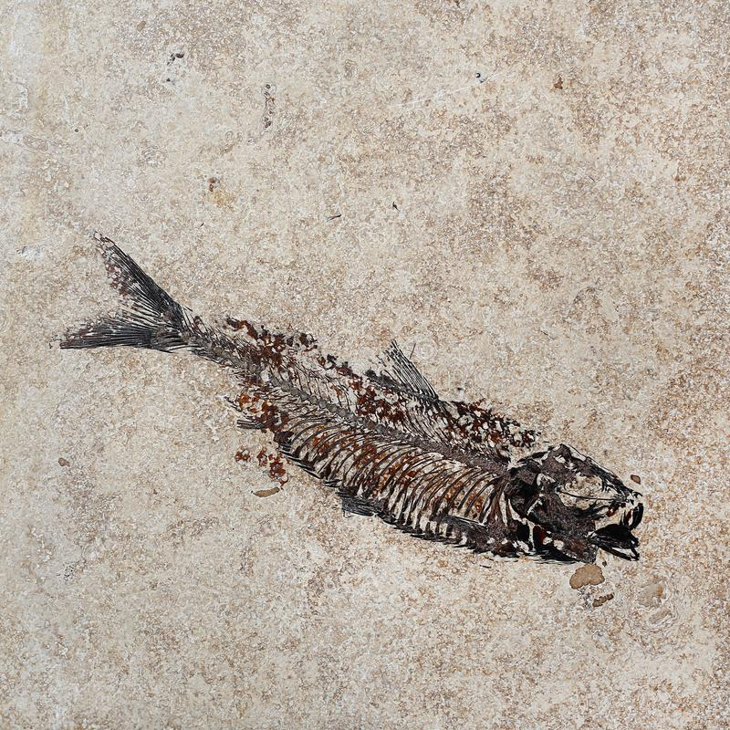 Pattern of Fossil fish in the rock royalty free stock photo