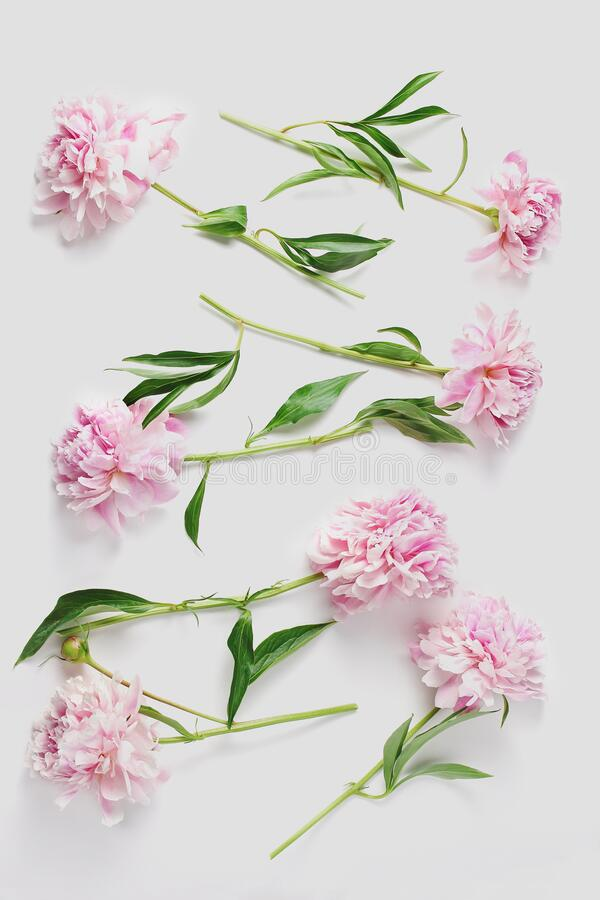 Pattern from fresh flowers on a white background. beautiful peonies in light pink color. Creative layout, vertical frame royalty free stock images