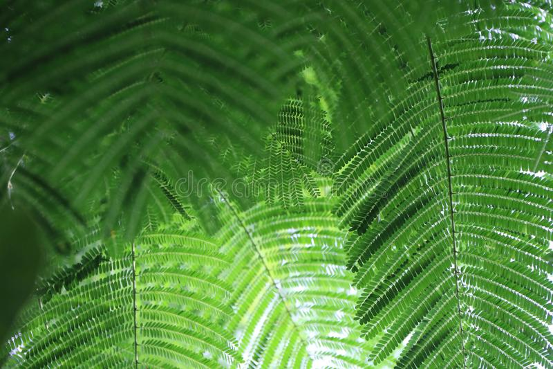 Pattern green leave of mimosa tree. royalty free stock photos