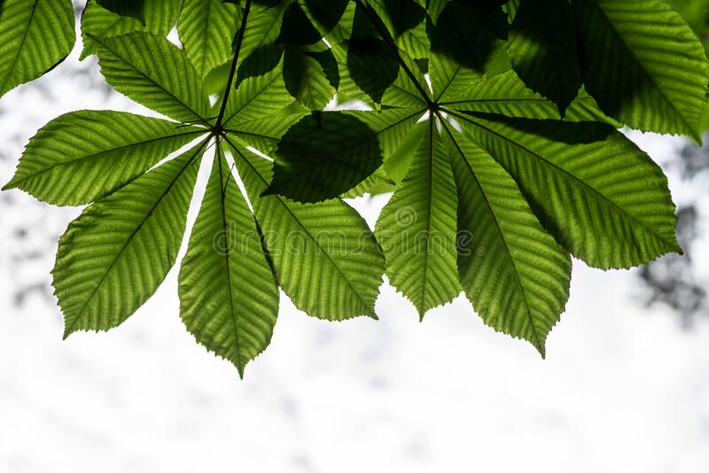 Pattern of horse-chestnut leaves on a natural light background. Selective focus stock photos
