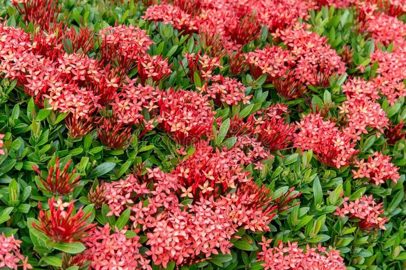 Pattern Of Ixora Chinensis(Chinese ixora) Lamk Flower royalty free stock images