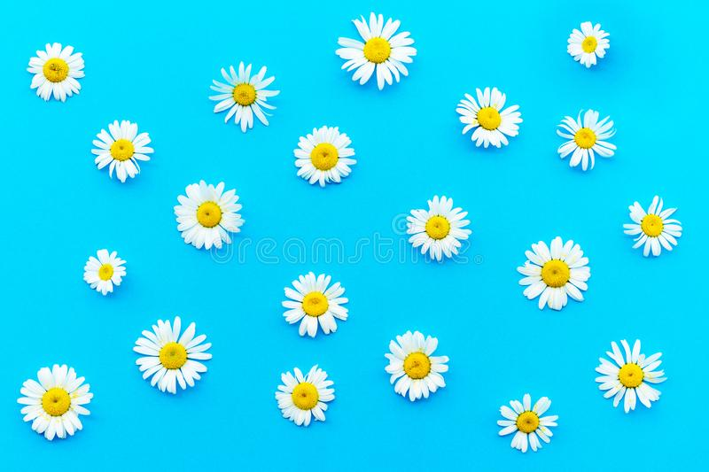 Pattern made of chamomiles on blue background. Flat lay, top view stock image