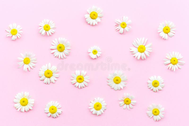 Pattern made of chamomiles on pink background. Flat lay, top view stock images