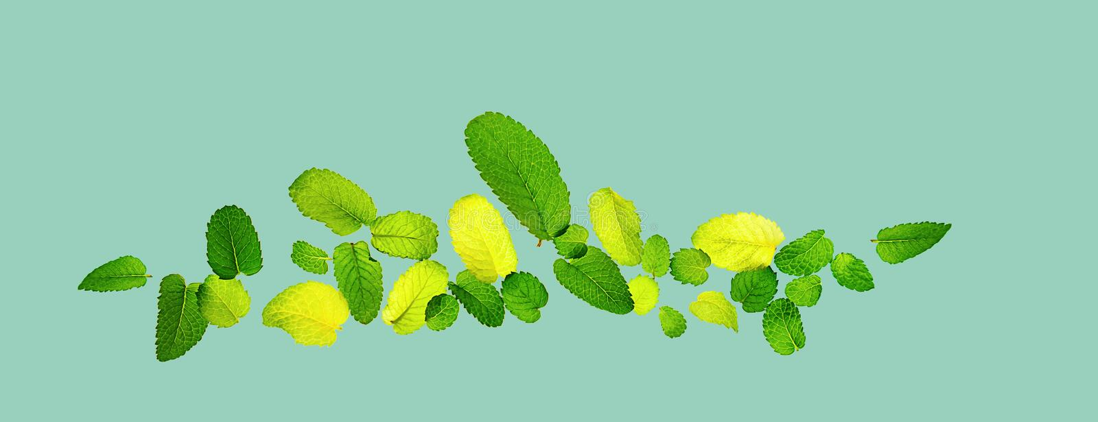 Pattern made from fresh flying mint leaves on trendy 2020 neo mint background royalty free stock image