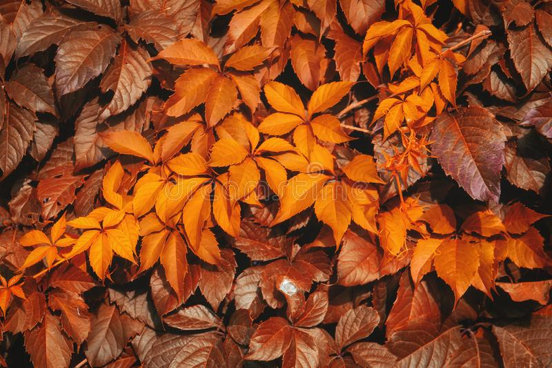 Pattern orange-red fall foliage. Beautiful autumn background from leaves of ivy or wild grapes. stock photos