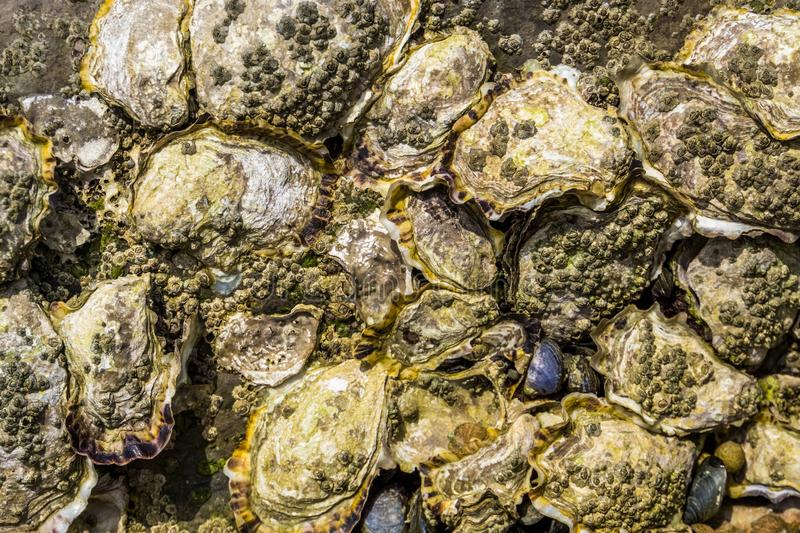 Pattern of oyster shells on a rock, Beach background, seashells of molluscs royalty free stock photo