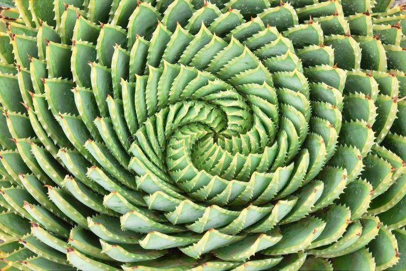 Pattern of spiral aloe. (Aloe Polyphylla royalty free stock photo
