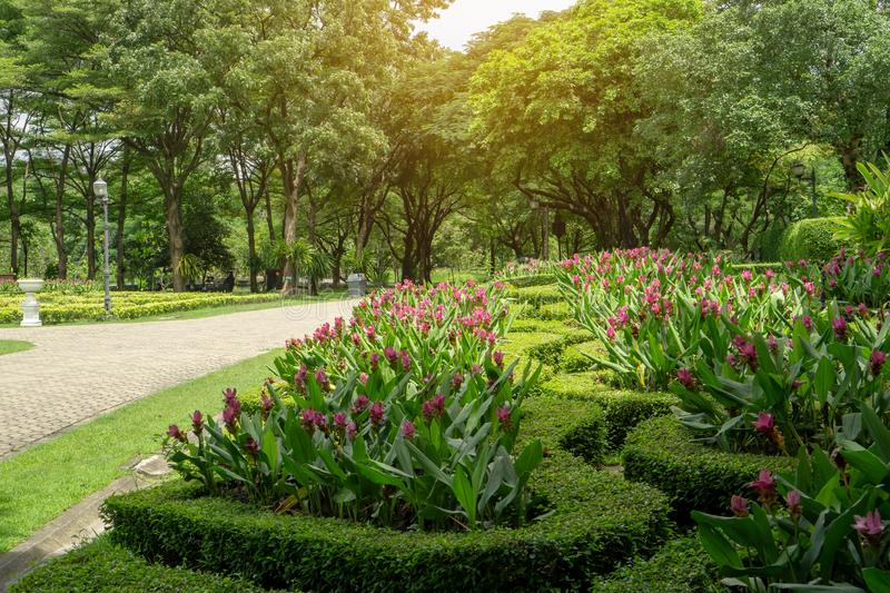 Pattern of topiary English garden style,  colorful flowering plant blooming in a green leaf of Philippine tea plant border stock images