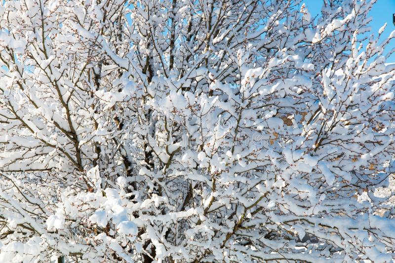Pattern of tree branches covered with snow, natural background. royalty free stock photo