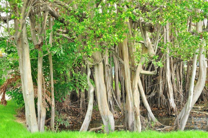 Download Pattern Of Trunk Of Banyan Tree Stock Photo - Image: 26561294