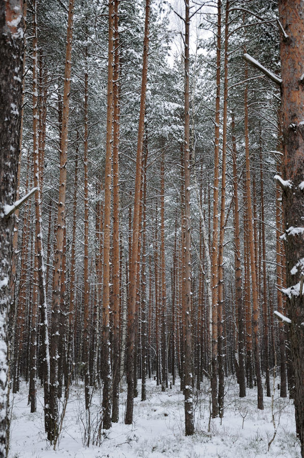 Download Pattern Of The Winter Pine Tree Forest Stock Photo - Image of brown, frozen: 12671114