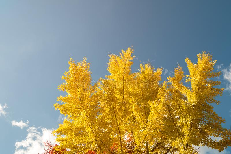 Pattern of Yellow Ginkgo leaf tree with blue sky as background stock photo