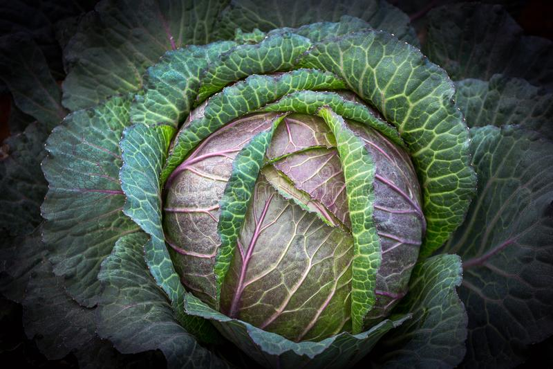 Patterns and colors of fresh cabbage. Patterns and colors of fresh cabbage in the garden royalty free stock photography
