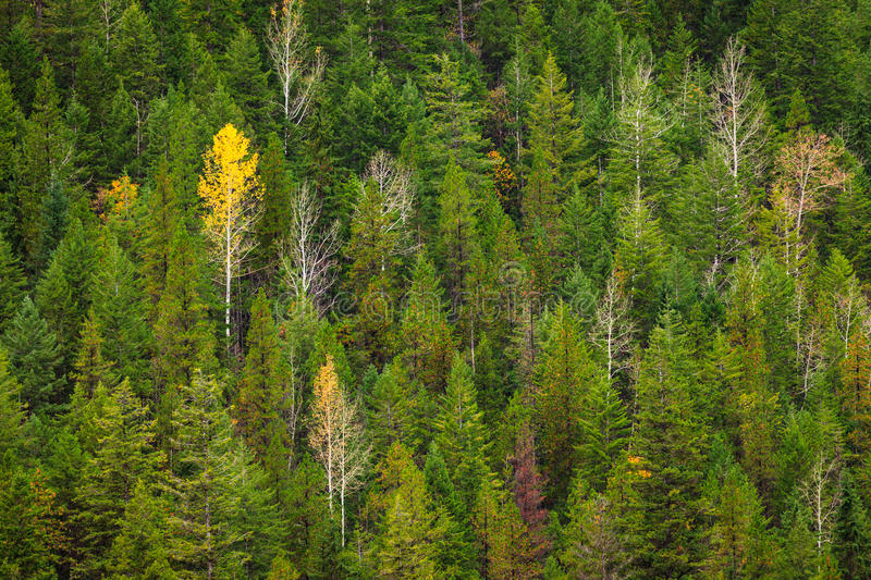 A single yellow aspen tree in an evergreen forest royalty free stock image