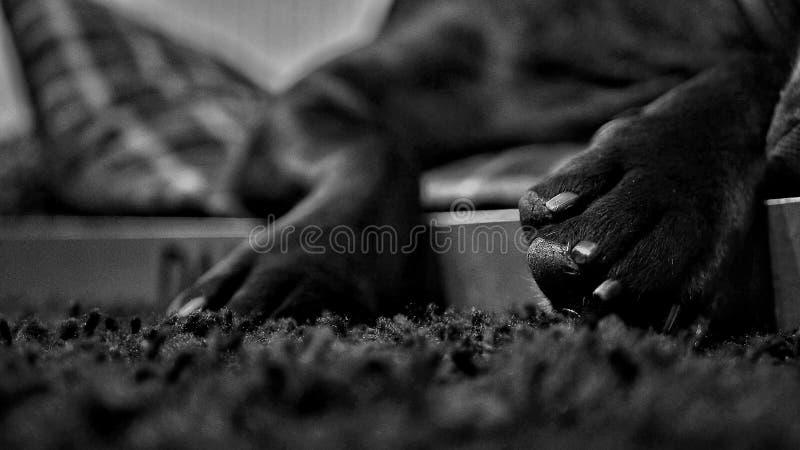 Pattes de chien photos libres de droits