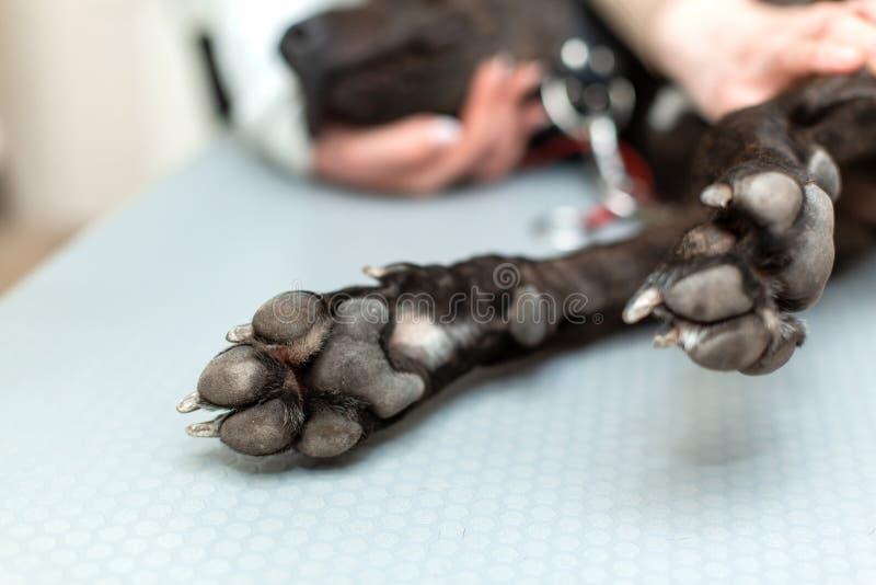 Pattes de chien noir de plan rapproché Chien se trouvant sur la table photos libres de droits