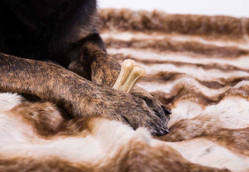 Pattes de chien tenant un os image libre de droits