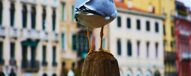 Pattes de mouette à Venise, Italie photo libre de droits