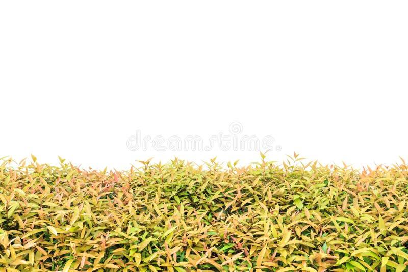 Pattren młoda zielona roślina Ogrodowy dekoracyjny odosobniony na whit zdjęcia stock