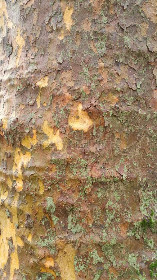 Patchwork of bark on tree trunk royalty free stock photo