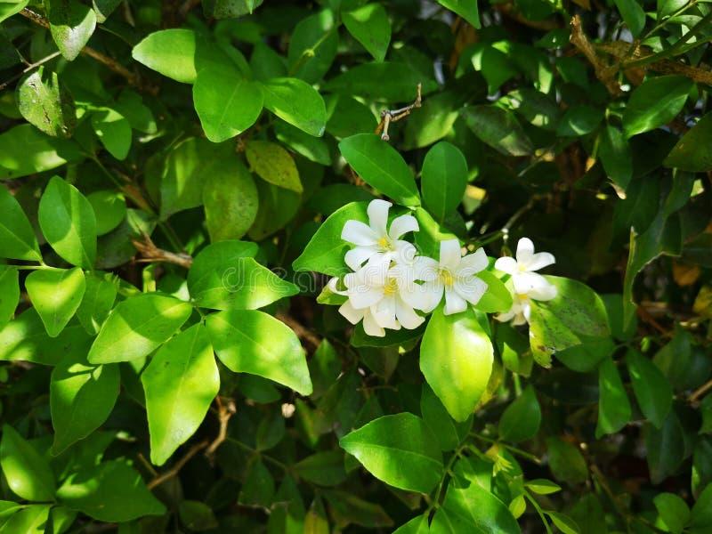 Pau-cetim de Andaman, árvore da caixa de Chanese, árvore de casca cosmética, jasmim alaranjado, jessamine alaranjado, cetim para  imagens de stock royalty free