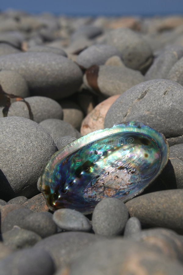Paua Shell. A symbol of New Zealand. A colorful Paua shell on a rocky beach stock photography
