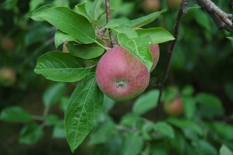 Download Paula Red Apples On The Tree Stock Photo - Image: 38242