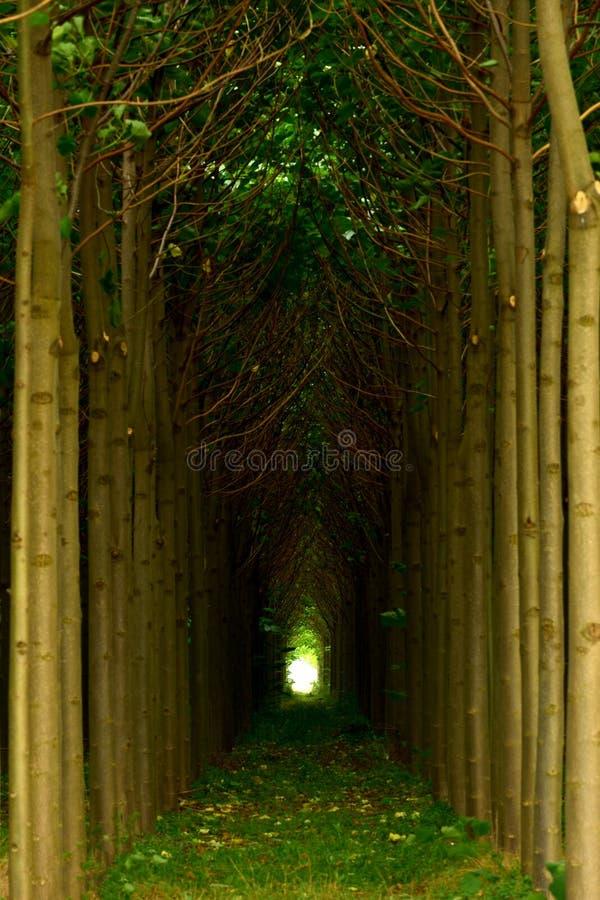 Paulownia drzew plantacja w Bułgaria obraz stock