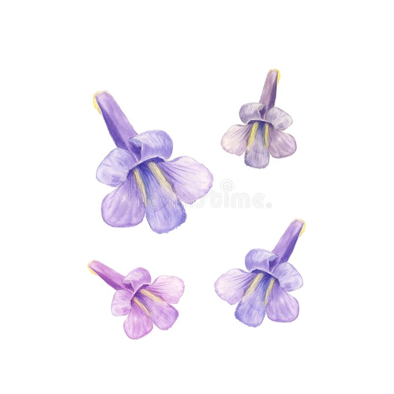 Paulownia kawakamii flower in a watercolor style isolated. For background, texture, wrapper pattern, frame or border royalty free illustration