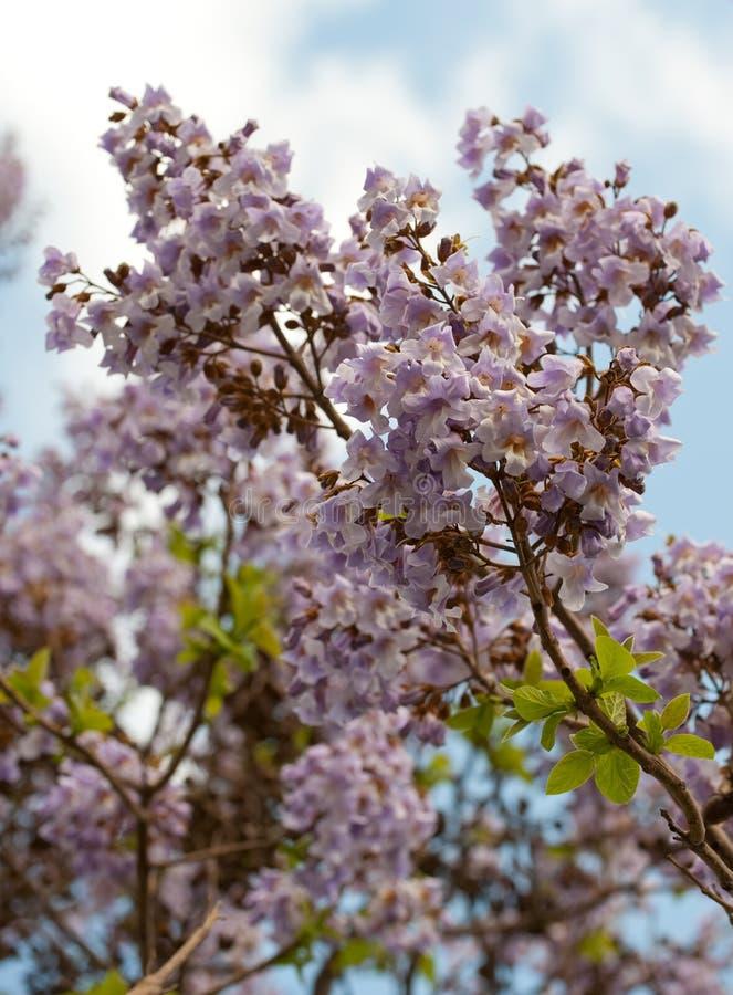 paulownia TARGET1649_0_ gałęziasty drzewo zdjęcia royalty free