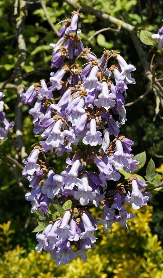 Paulownia Tomentosa flowers stock photo