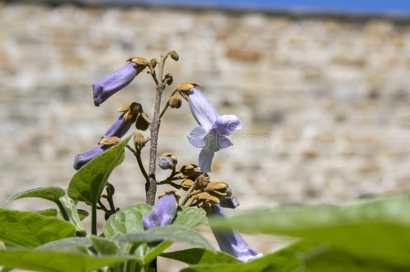 Paulownia tomentosa ornamental flowering tree, branches with green leaves, seeds and violet bell flowers stock photo