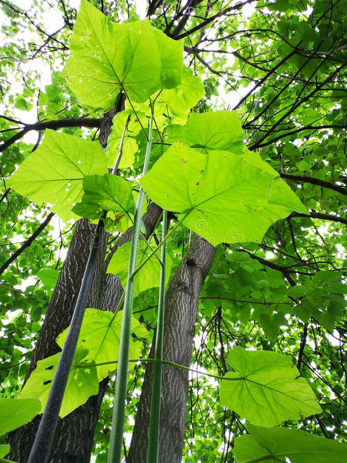 Paulownia trees young and old. Paulownia fortunei is a very fast growing tree, being commercially grown for the production of hardwoods. It is popular in China stock images