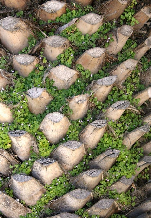 Paume-arbre. Texture photo libre de droits