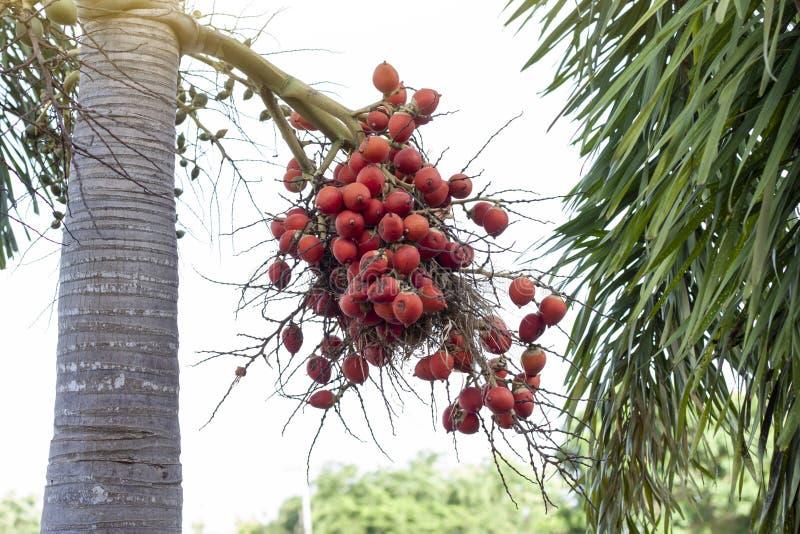 Paume de bétel ou noix de bétel rouge sur l'arbre avec la lumière du soleil image stock