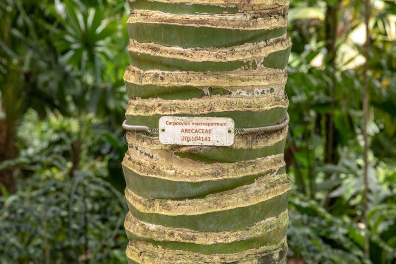 Paume de Carpoxykum ou paume d'Aneityum, macrospermum de Carpoxylon, tronc d'arbre avec la plaque d'identification image libre de droits