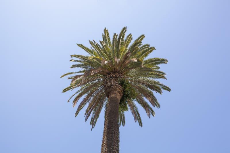 Paume de fan de la Californie photographie stock