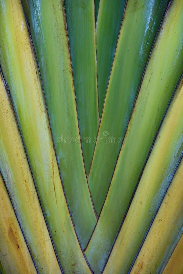 Paume de fan tropicale photographie stock