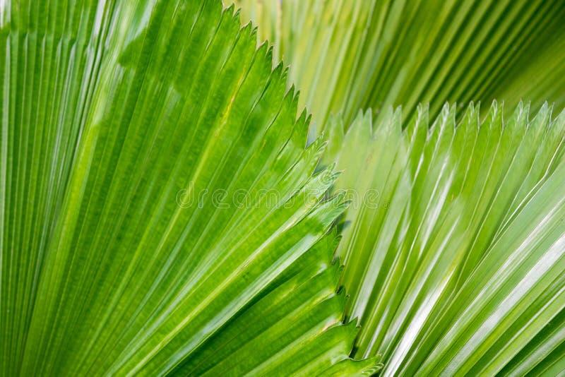 Paume de fan verte, fond d'abrégé sur nature de paume de Licuala images stock