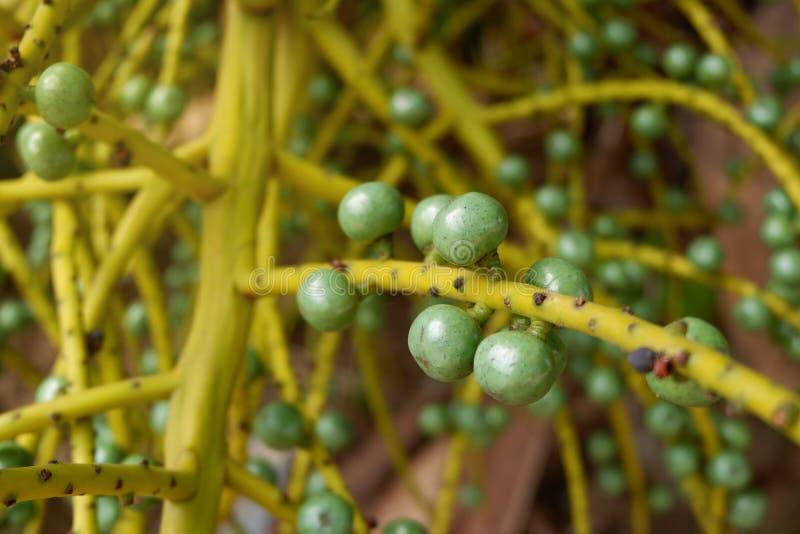 Paume de fruit photographie stock
