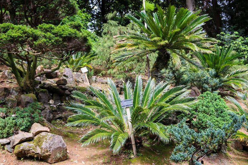 Paume de sagou de revoluta de Cycas, sagou de roi, cycad de sagou, paume de sagou japonaise dans le jardin botanique images libres de droits
