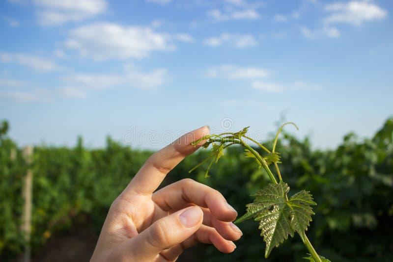 Paume ouverte de femelle atteignant pour une jeune vrille de tige de raisins avec les feuilles vertes Les mains de la fille touch photos stock