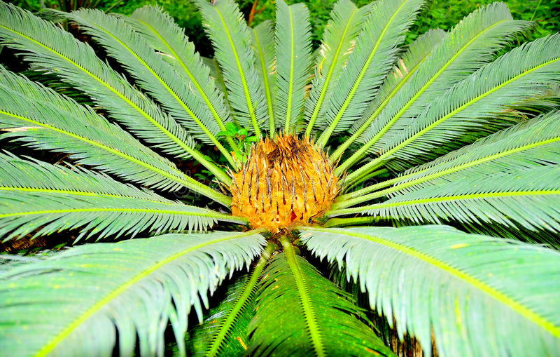 Paume pinnate tropicale images libres de droits