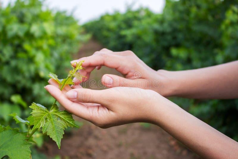 Paumes ouvertes de femelle atteignant pour une jeune tige de raisin avec les feuilles vertes Les mains de la fille touchent la ré photos libres de droits