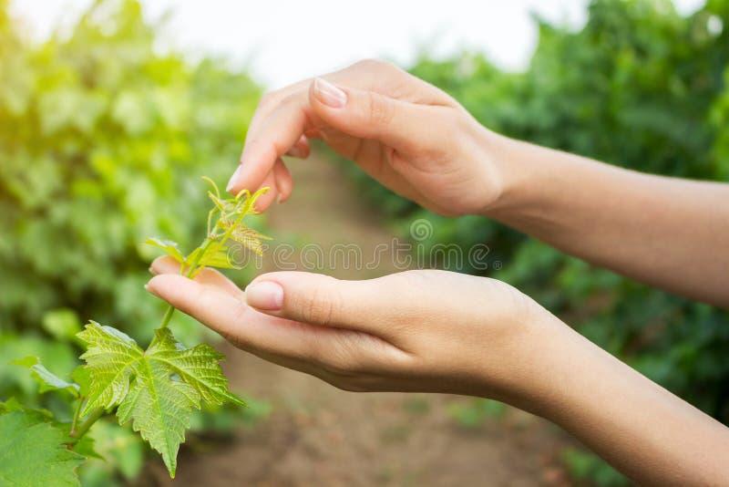 Paumes ouvertes de femelle atteignant pour une jeune tige de raisin avec les feuilles vertes Raisins croissants de examen d'agric image libre de droits