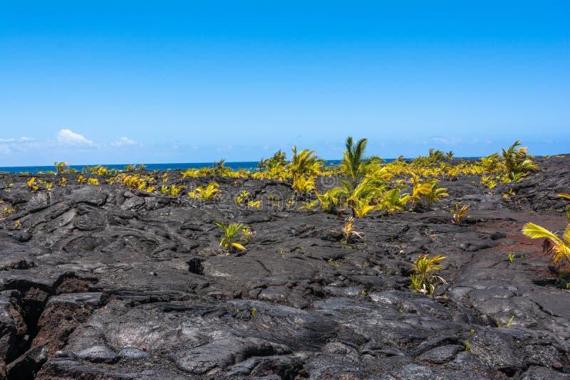 Paumes s'élevant sur l'écoulement de lave, Hawaï photo stock